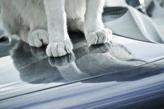 Katten tafsar Royaltyfri Fotografi