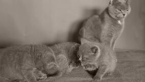 Katten tar omsorg av kattungar stock video