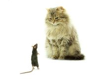 katten tjaller Arkivfoton