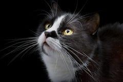Katten tystar ned med vita morrhår Arkivfoto