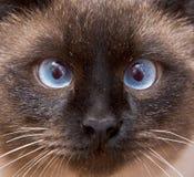 katten tystar ned siamese Royaltyfri Bild