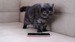 Katten uppför restlessly bredvid smartphonen stock video