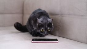 Katten uppför restlessly bredvid smartphonen arkivfilmer