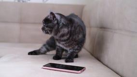 Katten uppför restlessly bredvid smartphonen lager videofilmer