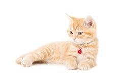 Katten van weinig Gember de Britse shorthair Royalty-vrije Stock Foto's