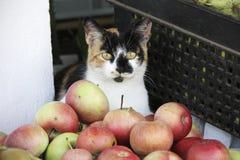 Katten verkopende appelen Stock Fotografie
