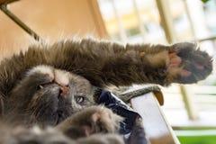 Katten vilar i stol Arkivfoton
