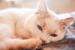Katten wit-rode pluizige slaperige knappe mening royalty-vrije stock foto
