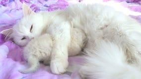 Katten wit voedend katje die op het zorg en liefdebed liggen stock footage