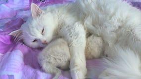 Katten wit voedend katje die op zorg en bedliefde liggen stock video