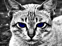 Katten zwart-wit blauw oog stock foto