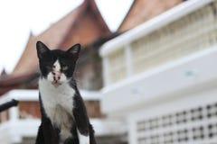 Katten zwart-witte kleur en uit nadrukachtergrond een klein geacclimatiseerd vleesetend zoogdier met zacht bont stock fotografie