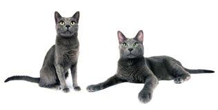 Kattenfamilie Royalty-vrije Stock Afbeeldingen