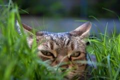 Kattenhinderlaag tussen gras stock foto