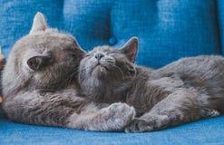 Kattenliefde Royalty-vrije Stock Foto