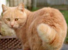 Kattenmening in het voorwerp Royalty-vrije Stock Fotografie