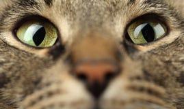 Kattenogen Royalty-vrije Stock Afbeelding