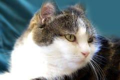 Kattenportret Royalty-vrije Stock Afbeelding