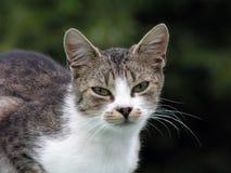 Kattenportret royalty-vrije stock fotografie