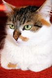 Kattenportret Royalty-vrije Stock Foto's
