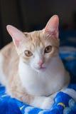 Kattenportret op blauw bed Royalty-vrije Stock Fotografie