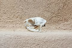 Kattenschedel stock foto