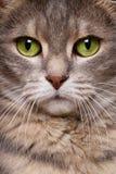 Kattenschoonheid Stock Afbeeldingen