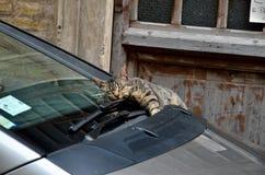 Kattenslaap op het autoraam Stock Foto