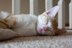 Kattenslaap op vloer Royalty-vrije Stock Foto's