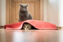 Kattenspel Stock Afbeeldingen