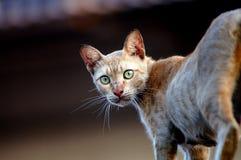 Kattenstarende blik Royalty-vrije Stock Foto's