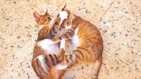 Kattenstrijd Stock Afbeelding