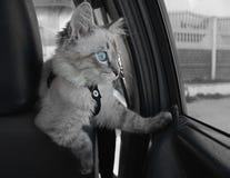 Kattenzitting binnen de auto Stock Afbeelding