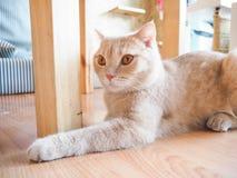 Kattenzitting op de vloer Stock Afbeeldingen