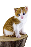 Kattenzitting op een stuk van hout Royalty-vrije Stock Foto