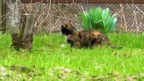 Kattenzitting op het gras stock video