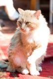 Kattenzitting op het tapijt Royalty-vrije Stock Afbeeldingen