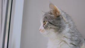 Kattenzitting op vensterbank stock video
