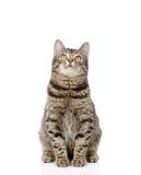 Kattenzitting vooraan en omhoog het kijken Geïsoleerd op witte backgroun Stock Afbeeldingen