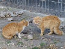 Katter delar territoriet royaltyfri bild