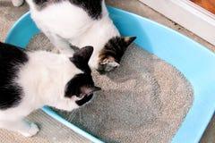 Katter genom att använda toaletten, katter, i kullask, for pooping, eller urinerar och att pooping i ren sandtoalett arkivfoto
