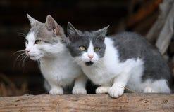 katter gulliga två Royaltyfria Foton