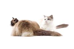 katter gulliga två Royaltyfri Fotografi