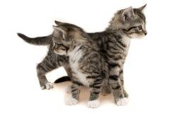 katter gulliga två Arkivfoto