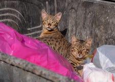 Katter i dumpster royaltyfri fotografi