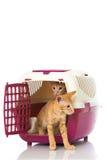 Katter i en ask Fotografering för Bildbyråer