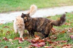 Katter i höst parkerar Förälskat gå för sköldpadds- och röda katter på utomhus- färgrika stupade sidor arkivbild