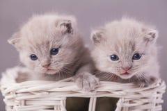 Katter i korgen Arkivfoton