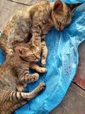 Katter Kattsömn Fotografering för Bildbyråer