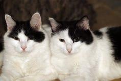 katter kopplar samman Arkivfoton